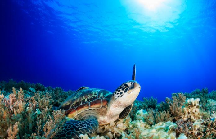 Sea turtle in Malaysia